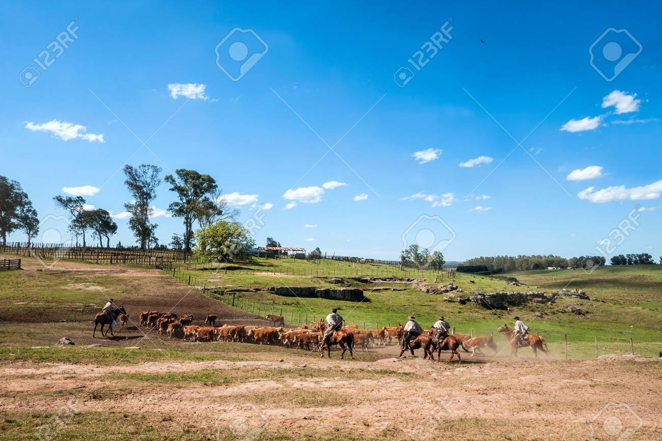 Tacuarembo, Uruguay - October 25, 2012: Gauchos (South American cowboys) collect the herd and drive it into the corral. Gaucho is a resident o the South American pampas - 81913484