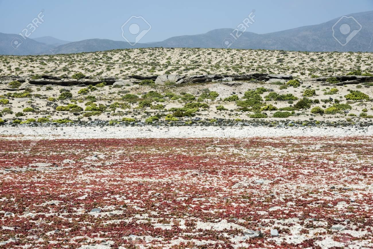 Flowering desert (Spanish: desierto florido) in the Chilean Atacama. The event is related to the El Nino phenomenon - 83604123
