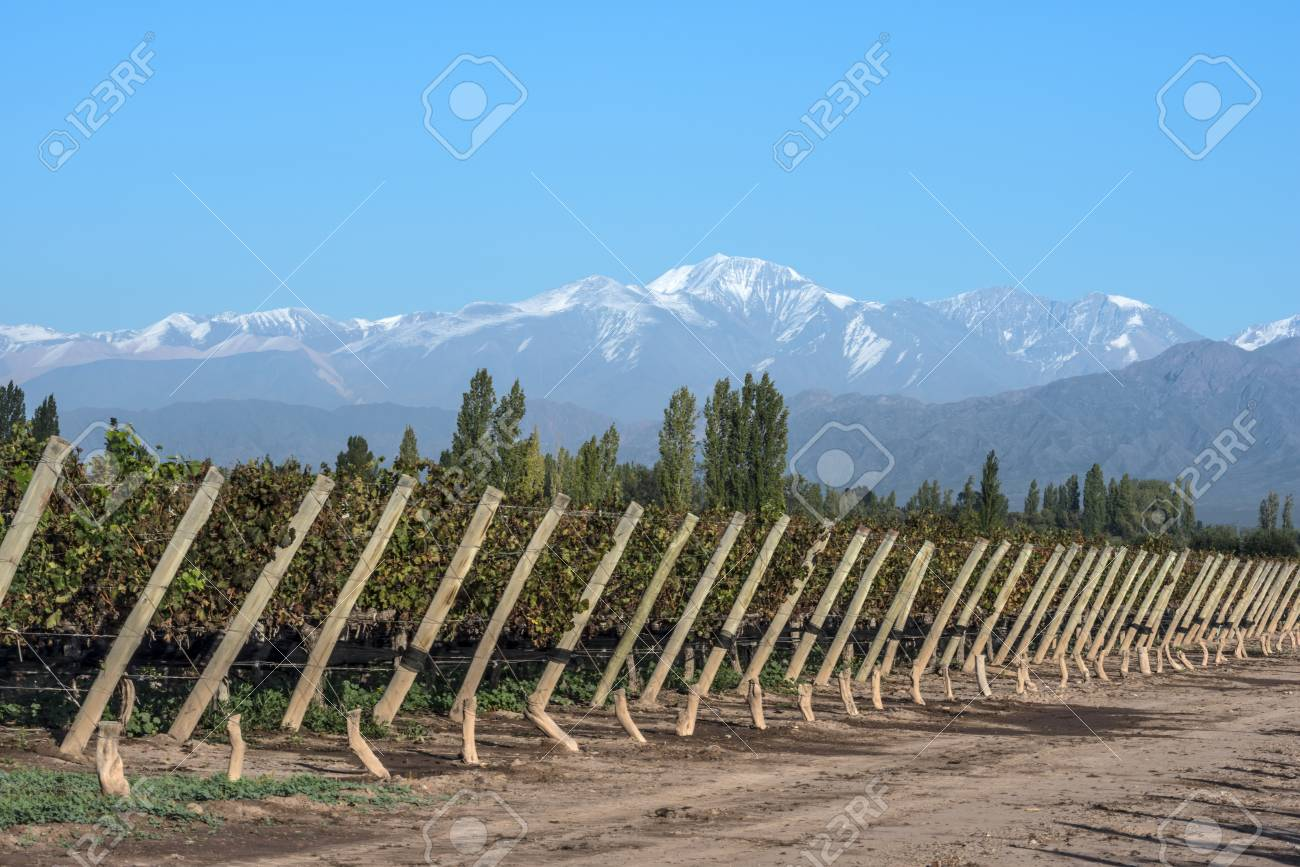 Early morning in the late autumn: Volcano Aconcagua Cordillera and Vineyard. Andes mountain range, in the Argentine province of Mendoza - 84701518