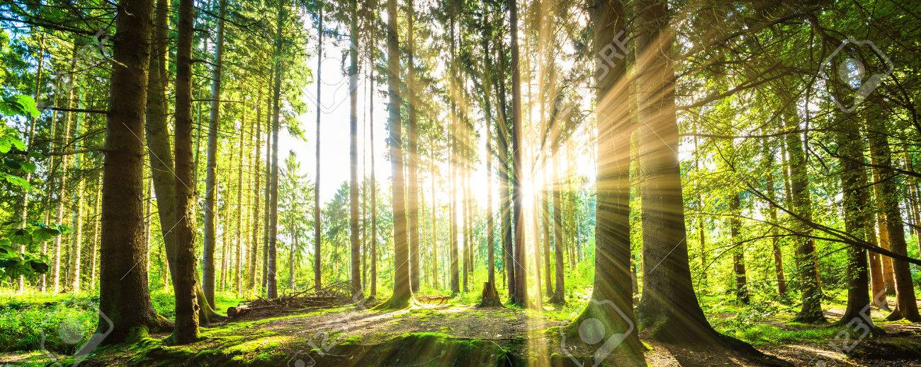Forest panorama with sunbeams - 54602299