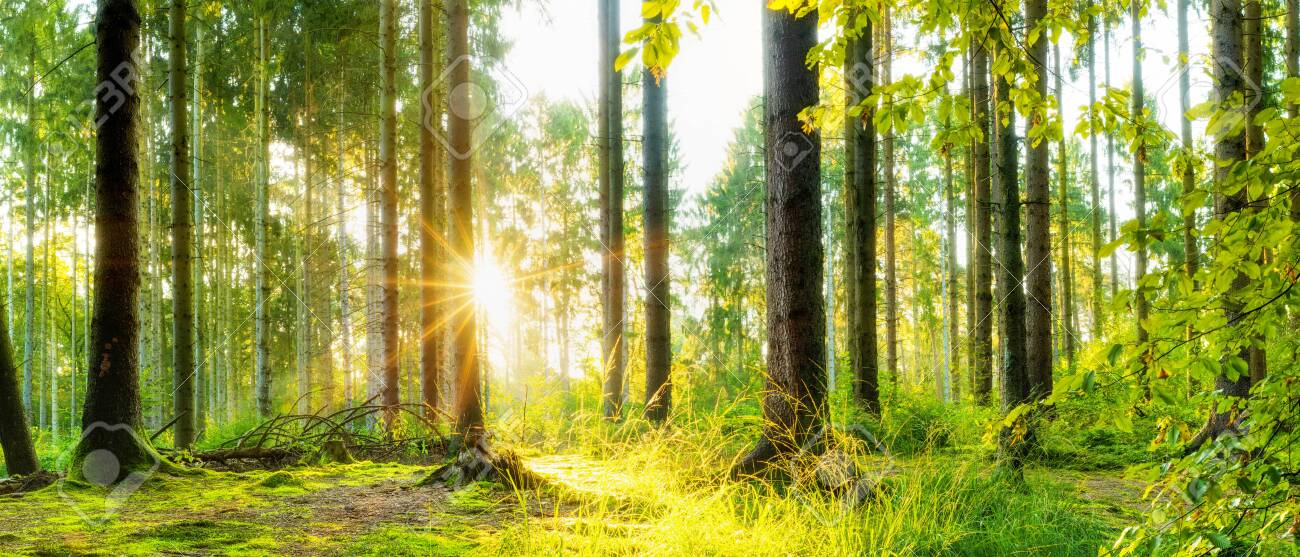 Idyllic forest with spruce trees and bright sun shining through the trees - 136362945