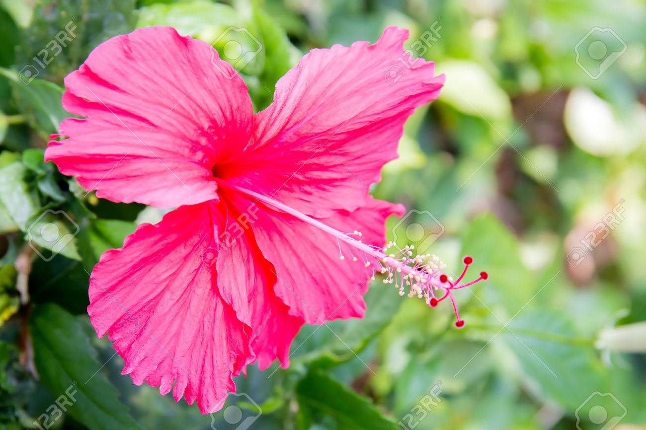 Red hibiscus flower china rose or chaba flower hibiscus rosa red hibiscus flower china rose or chaba flower hibiscus rosa stock photo izmirmasajfo
