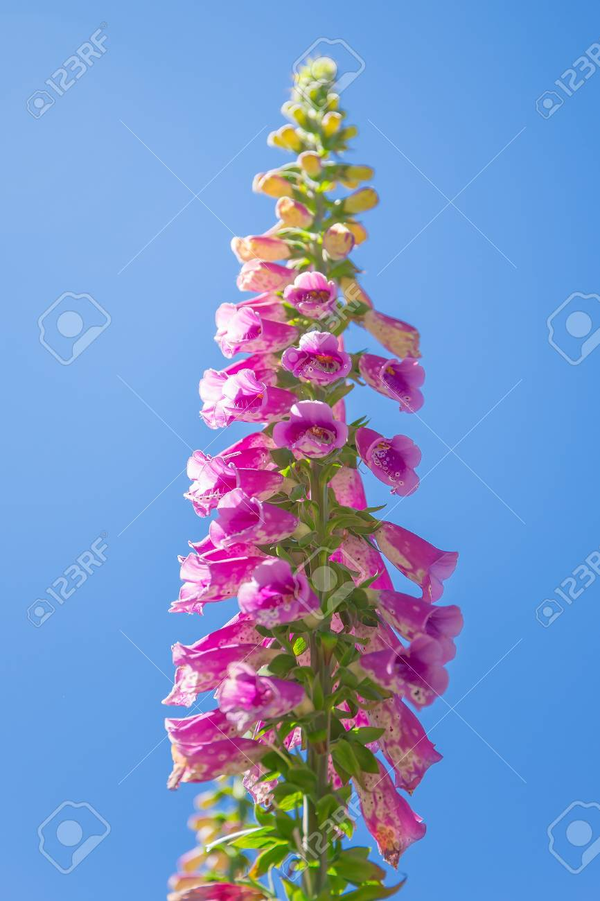 Pink Foxglove Flower With Blue Sky Stock Photo Picture And Royalty
