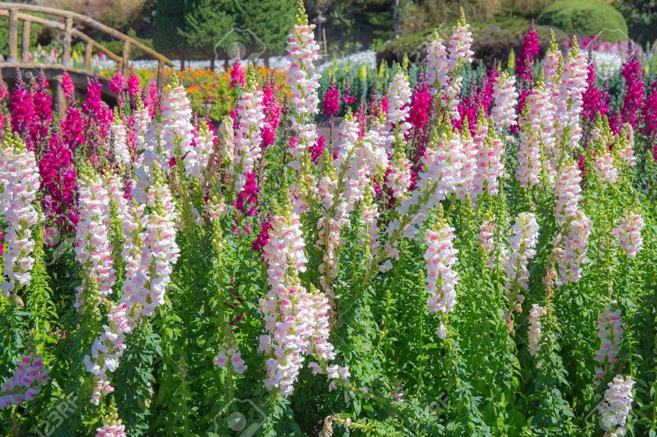 Pink Foxglove Flower Stock Photo Picture And Royalty Free Image