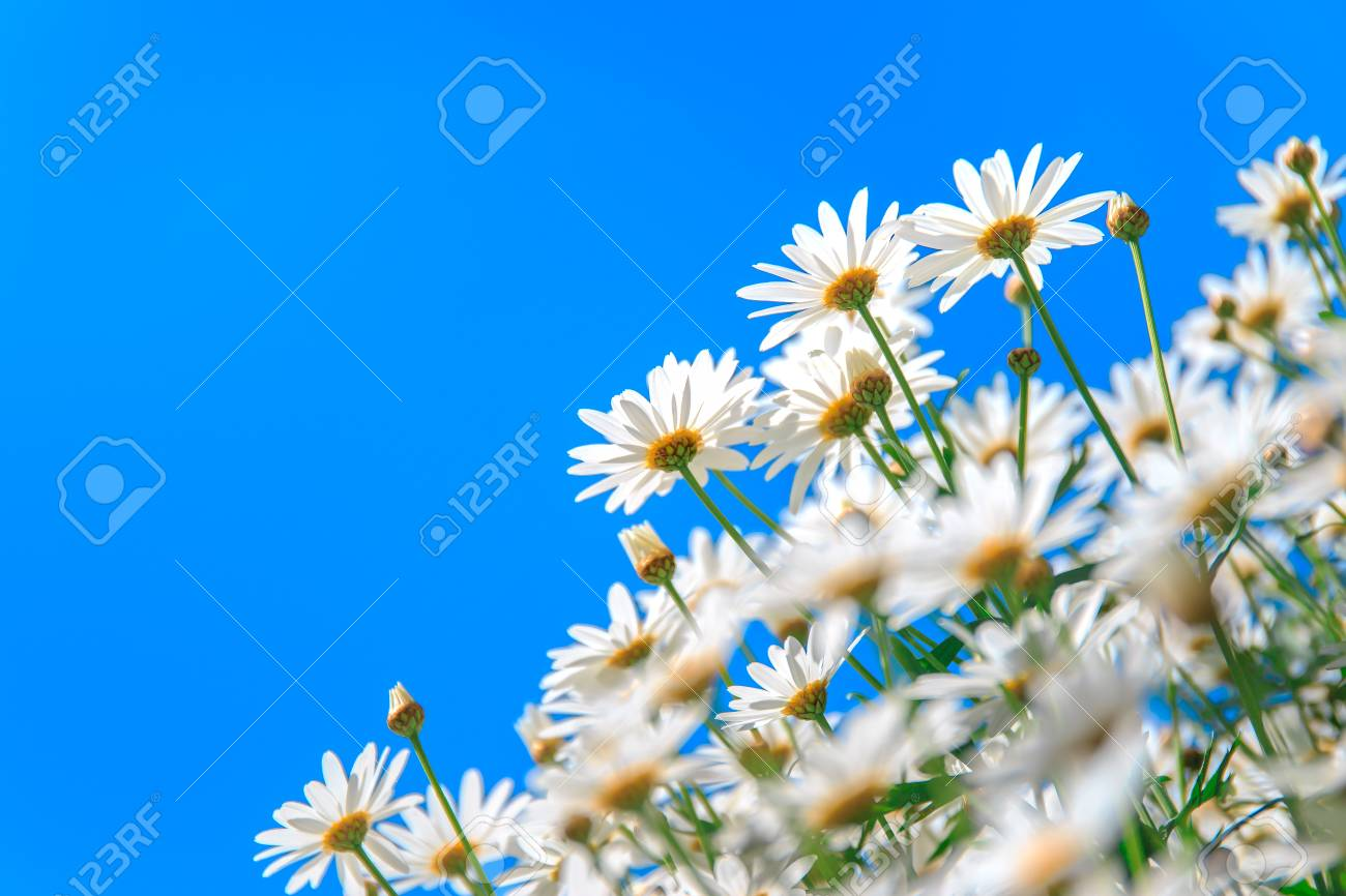 Beautiful White Daisy Flower With Blue Sky Background Focused