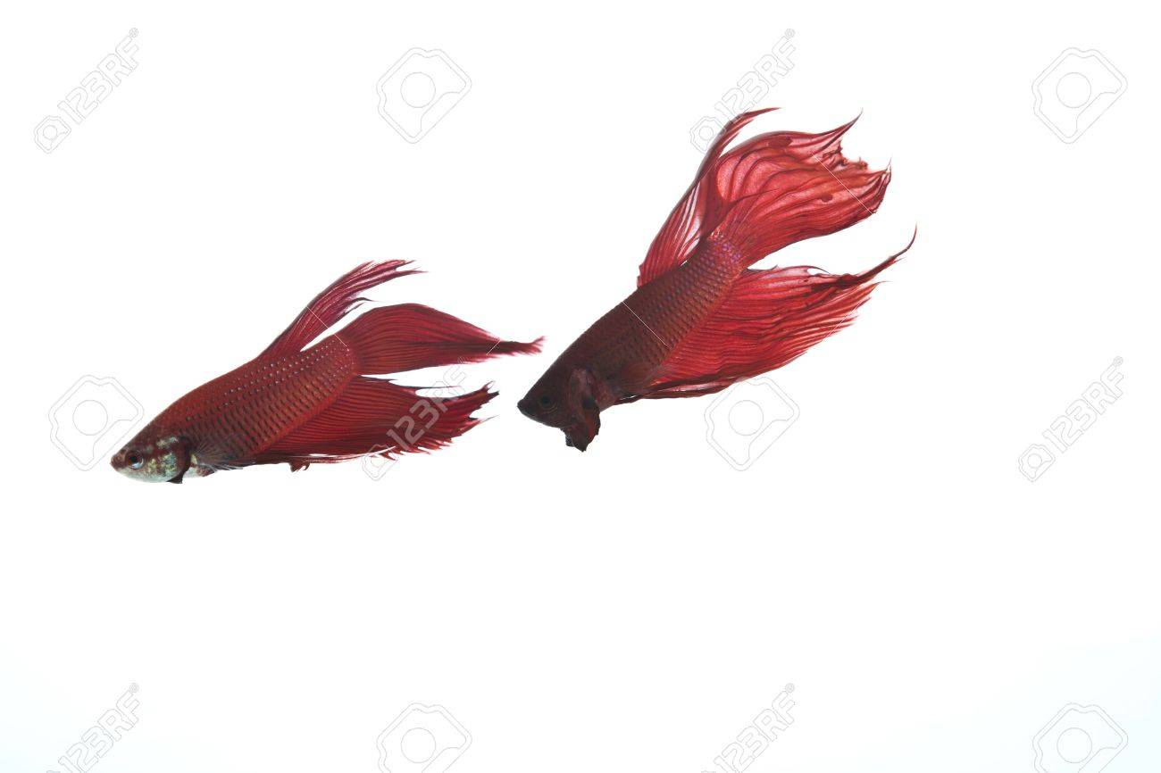 two red betta fish Stock Photo - 14781257