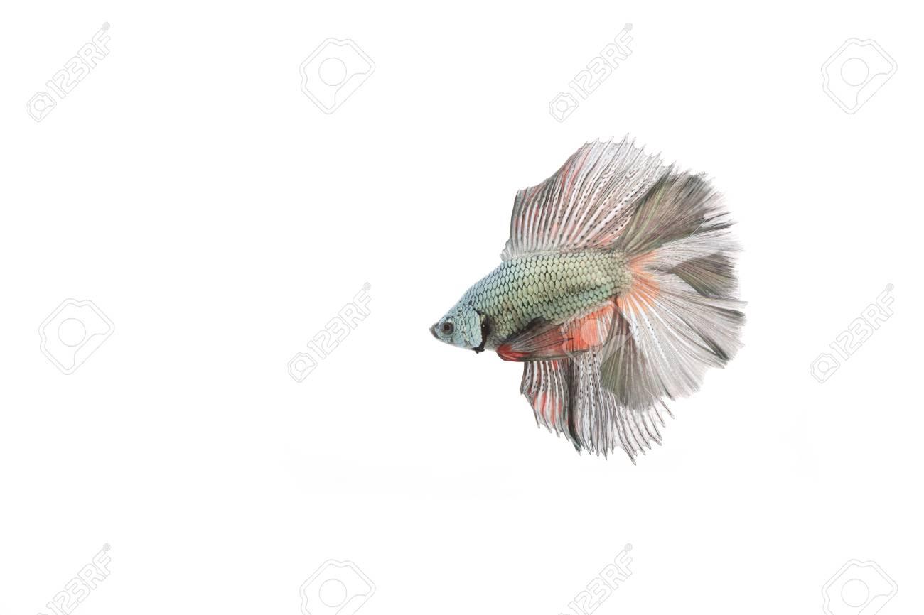 betta fish Stock Photo - 17751400