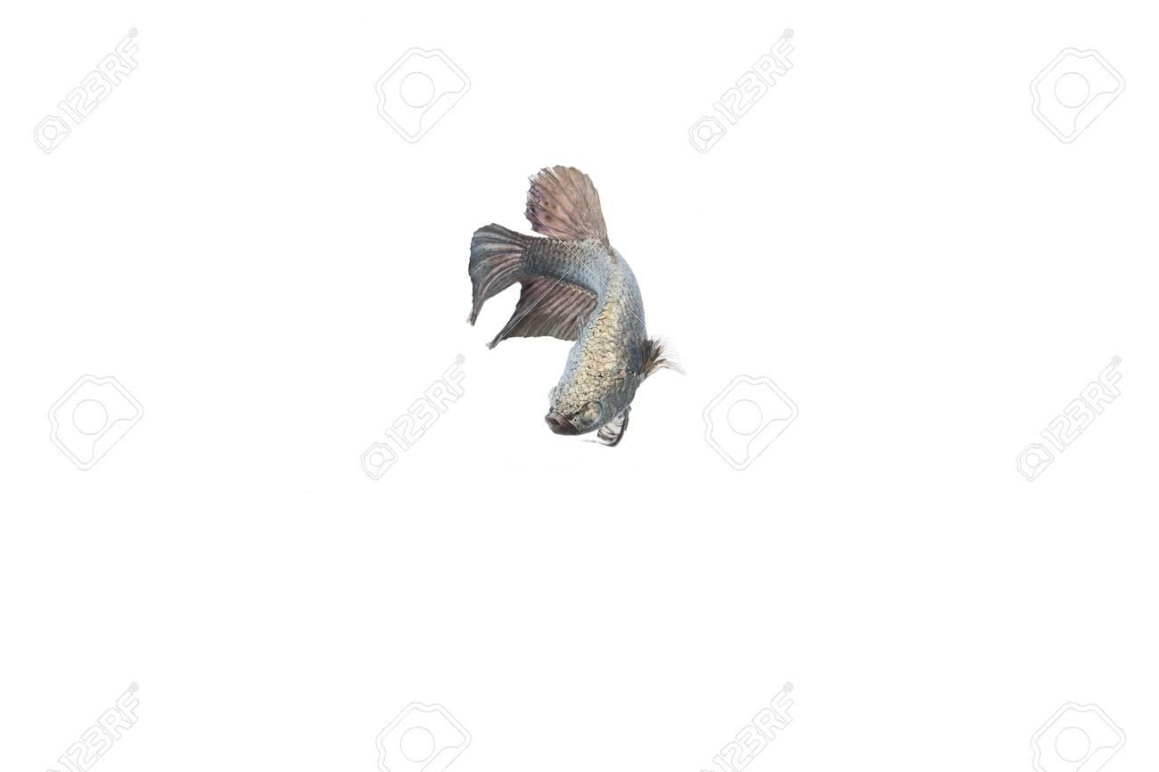 betta fish Stock Photo - 17751407