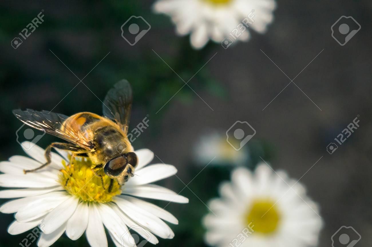 Flor blanca con abeja en el jardín en primavera verano con brillo solar  Foto de archivo eda41066576