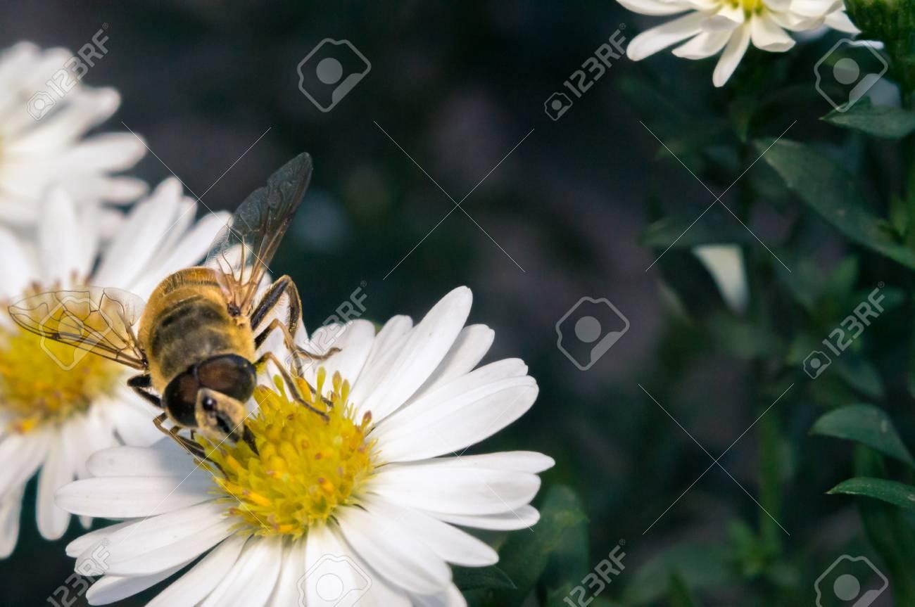 Flor blanca flor con abeja en el jardín en primavera verano con brillo de  sol Foto 39dc2f5c43e