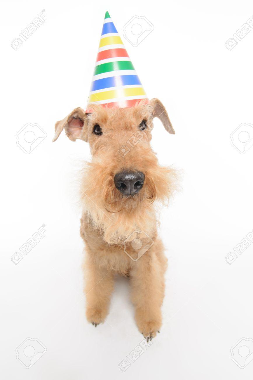 Joyeux Anniversaire Haut Vue En Gros Plan Du Noir Drôle Brun Chien Airedale Terrier Avec Un Chapeau De Fête Alors Quil était Assis Isolé Sur