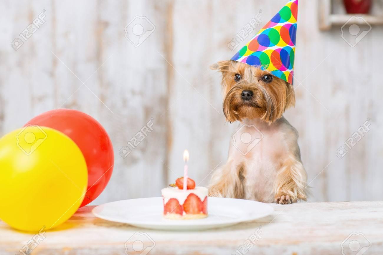 Terrier Und Kuchen Kleine Yorkshire Terrier Lehnt Sich Auf Dem