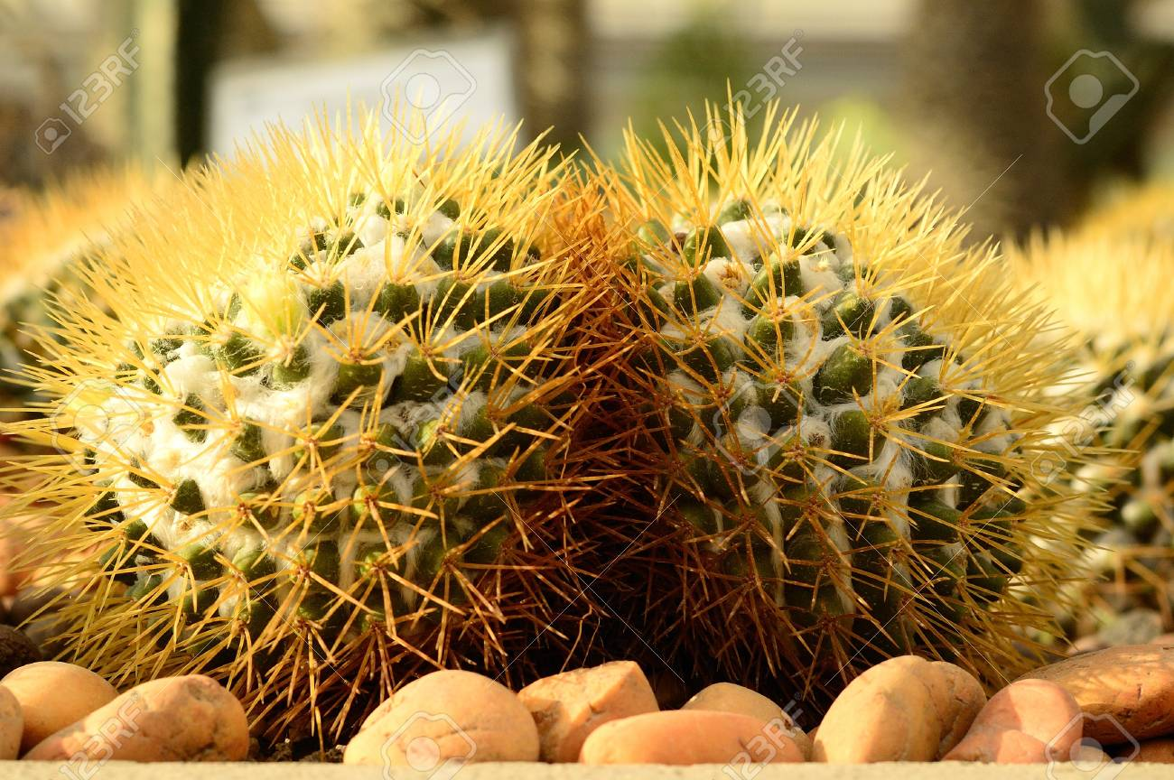 Cactus, Torch Thistle on Spring Stock Photo - 17332104