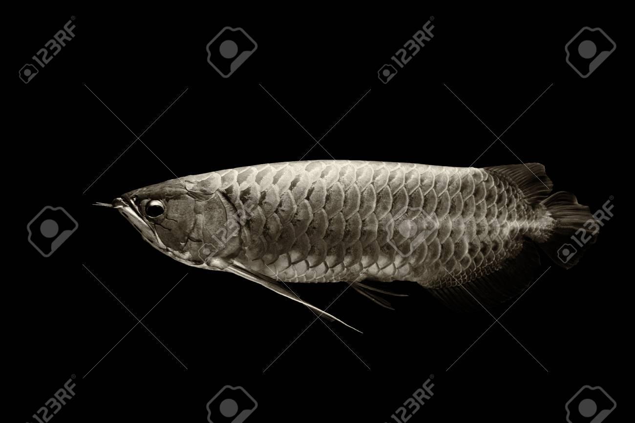 Arowana fish or dragon fish black and white stock photo 91372919