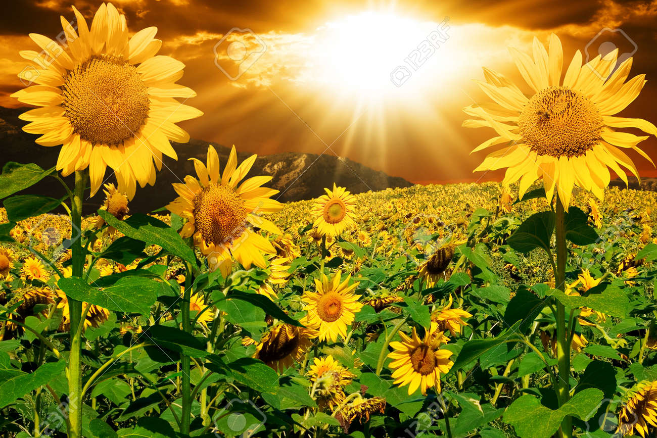 Sunflowers on a background of magic sky Stock Photo - 2860278