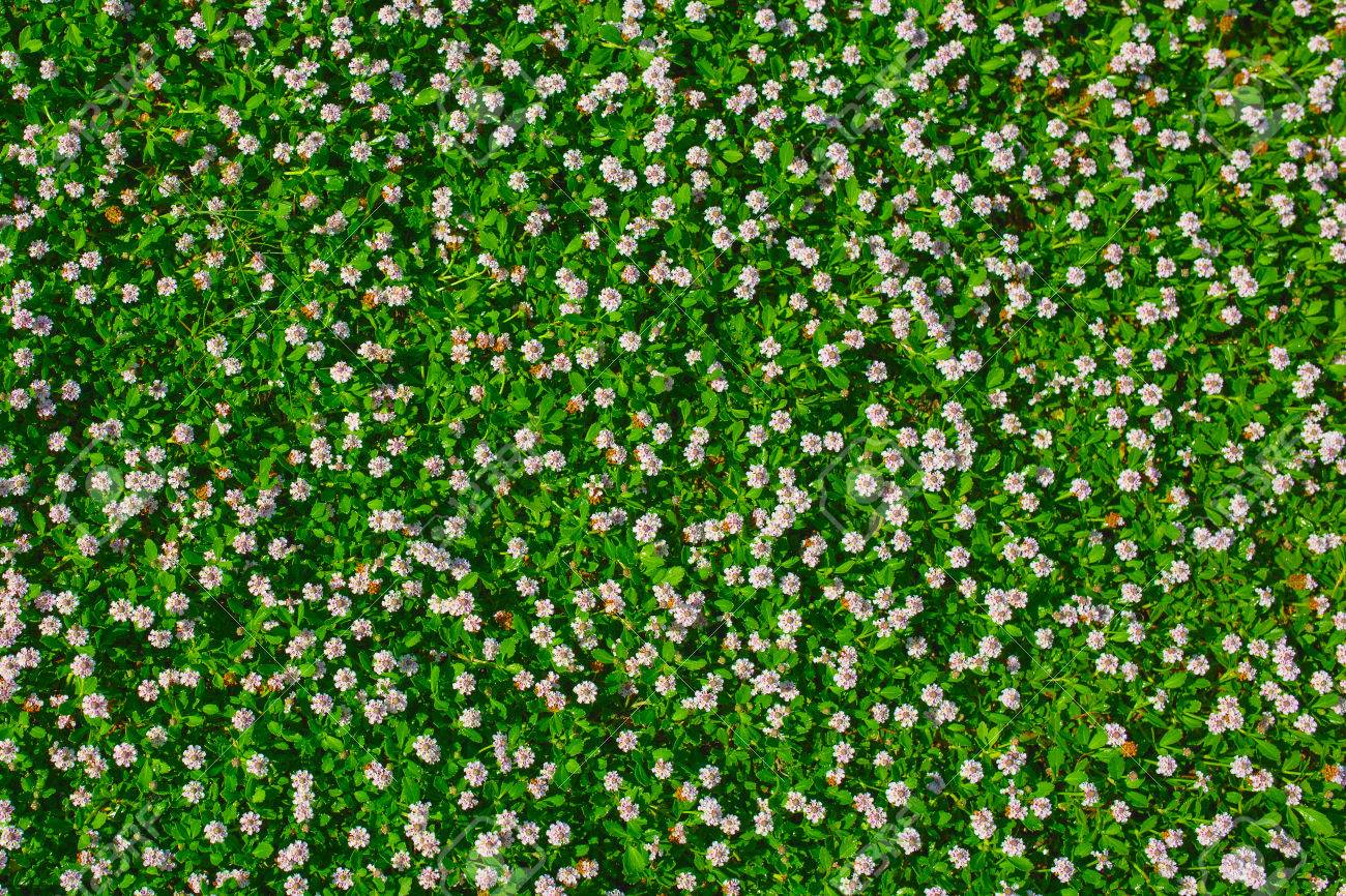 Top View Of Green Grass With Small White Flowers Background Texture