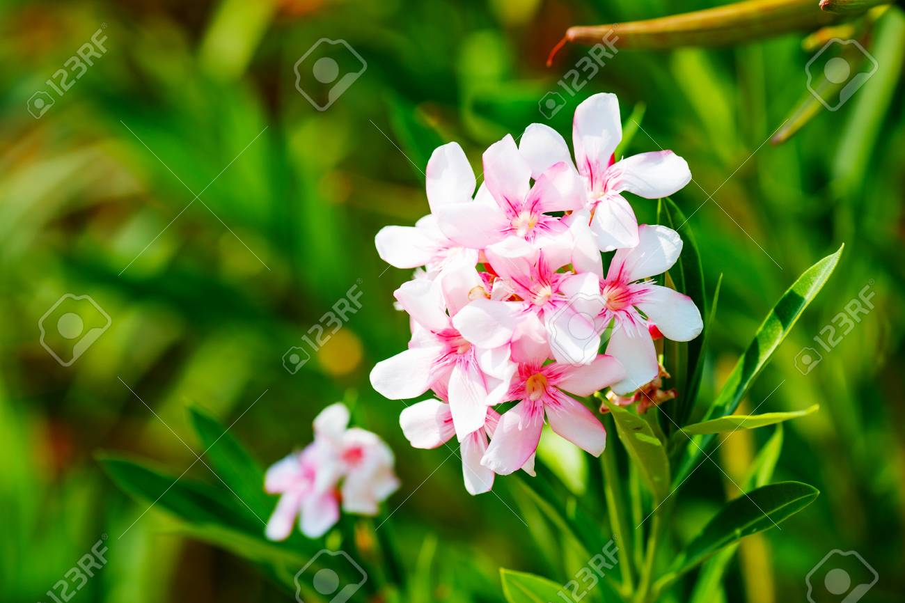White And Pink Nerium Oleander Flowers Stock Photo Picture And