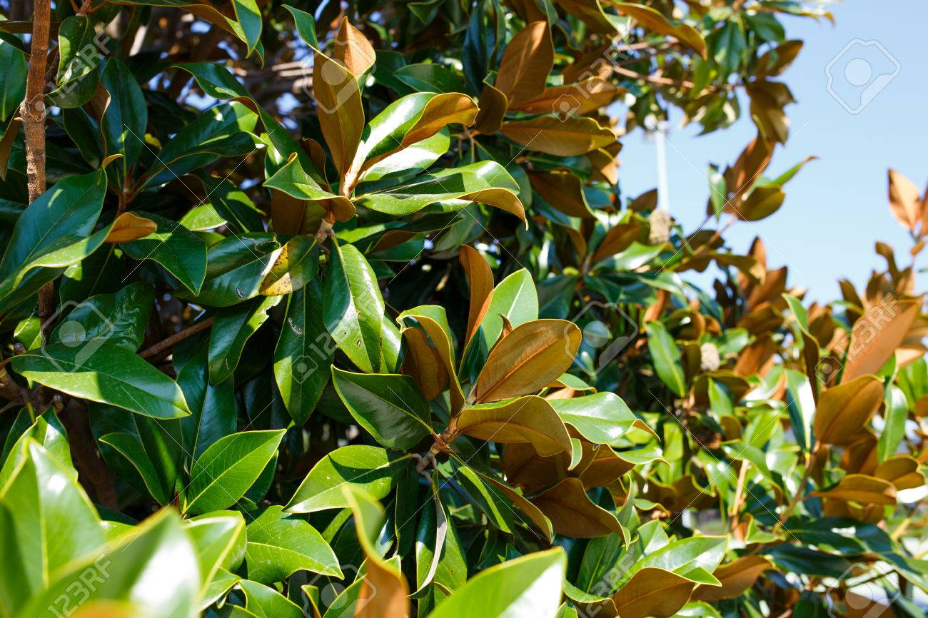 magnolia tree branches with leaves without flowers in autumn stock