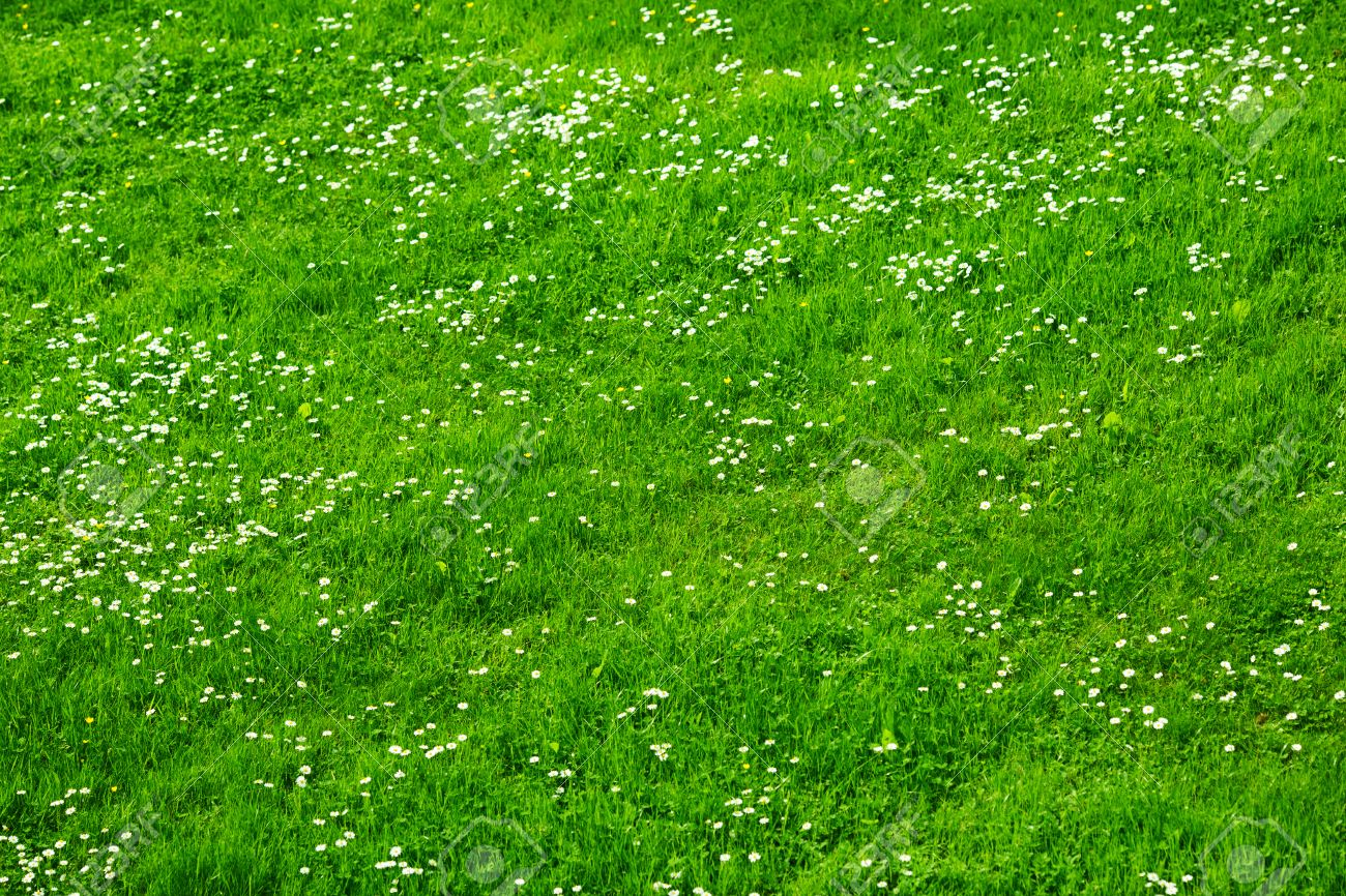 Many white daisies in top view of meadow top view of green grass many white daisies in top view of meadow top view of green grass with small mightylinksfo
