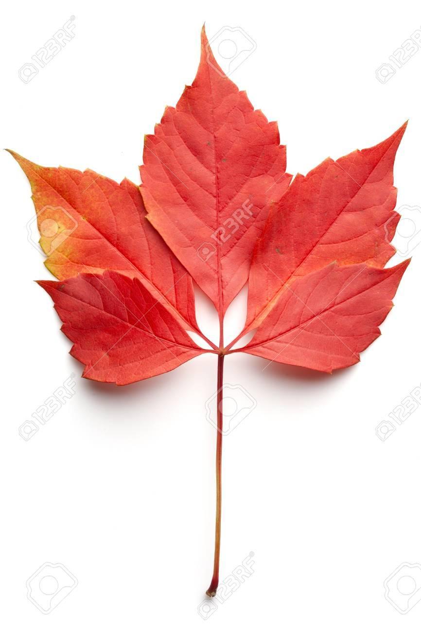 feuille rouge tombée d'un arbre sur un fond blanc banque d'images et