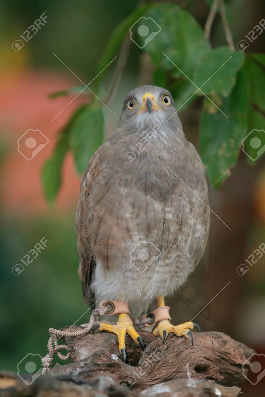 Redhawk Bird