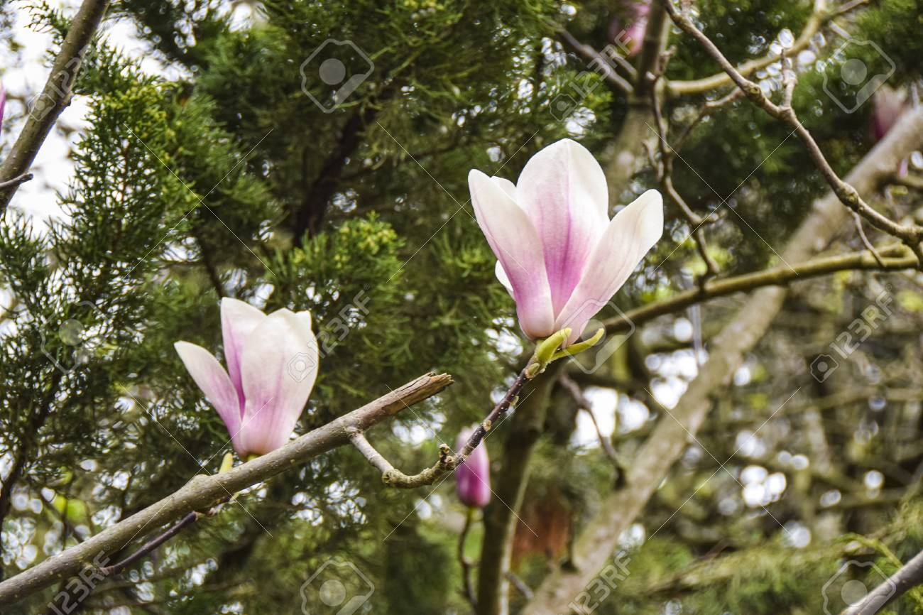 Blossoming Branch Of A Magnolia Tulip Tree Pink White Flower Stock