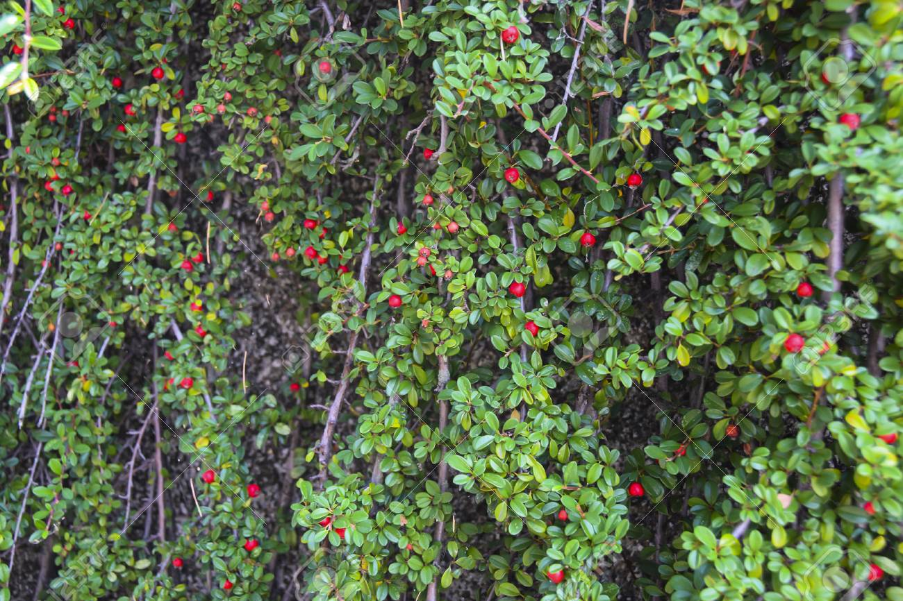 Ivy Green Bush With Red Berries Background The Wall Hangs Down