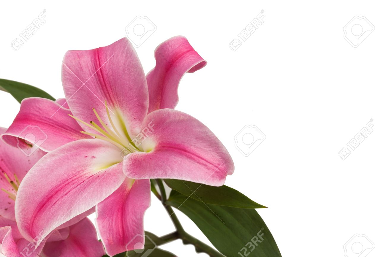 Pink Lily Flower Arrangement On White Background Stock Photo