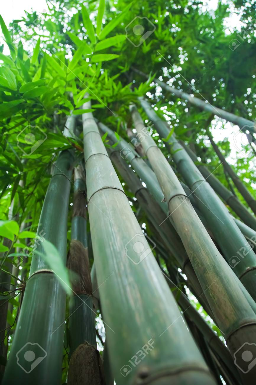 Low Angle View Of Bamboo Plants Stock Photo Picture And Royalty