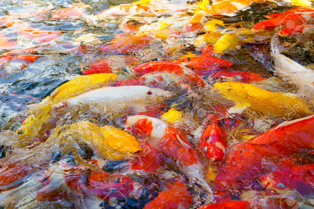 Multi Colored Fish Or Koi Fish In A Pond. Stock Photo, Picture And ...