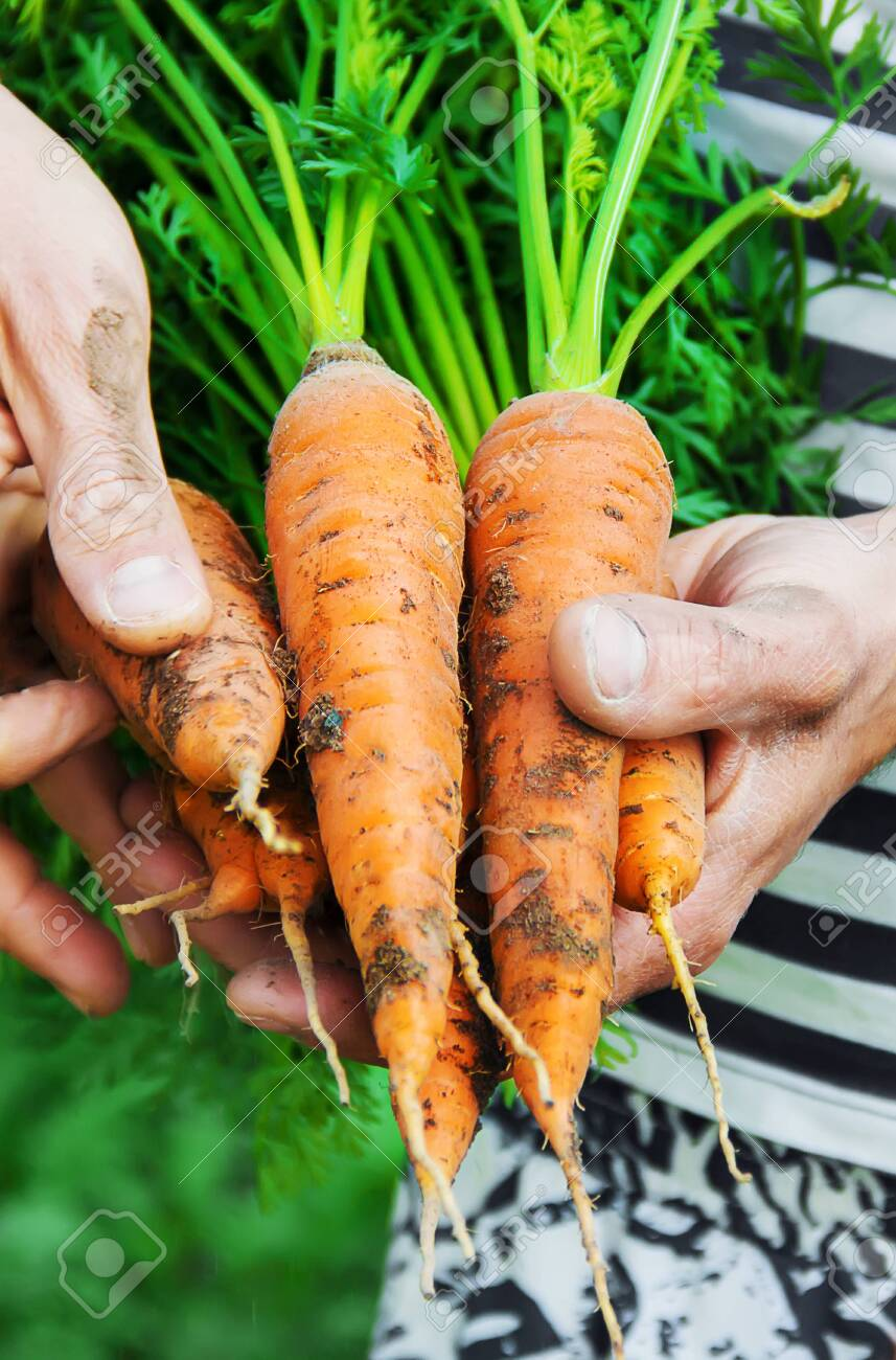 organic homemade vegetables in the hands of men. nature. - 122483444