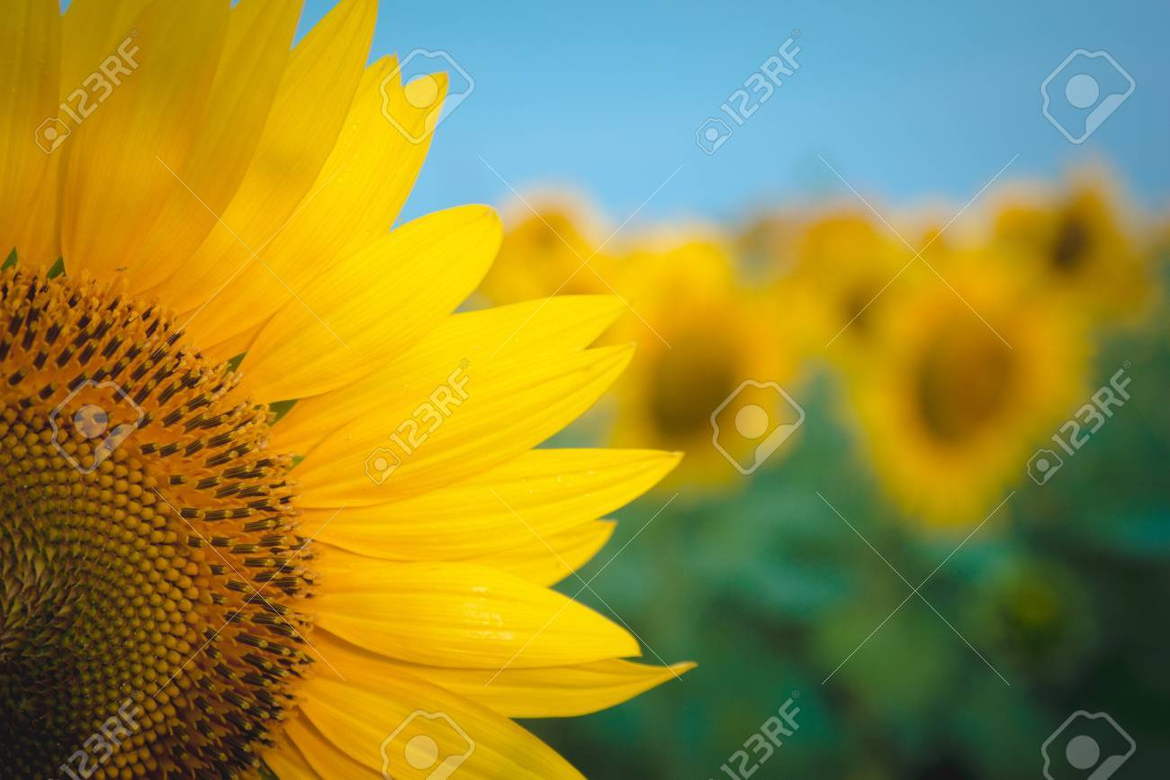 Sunflowers,Sunflowers blooming against a bright sky,Sunflowers,Sunflowers blooming ,beautiful sunflowers,big sunflowers ,Unseen Thailand flowers,yellows flowers - 61023814
