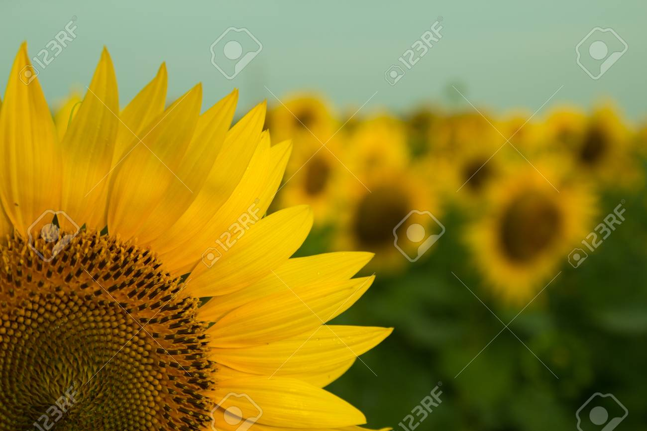 Sunflower field - 61023816