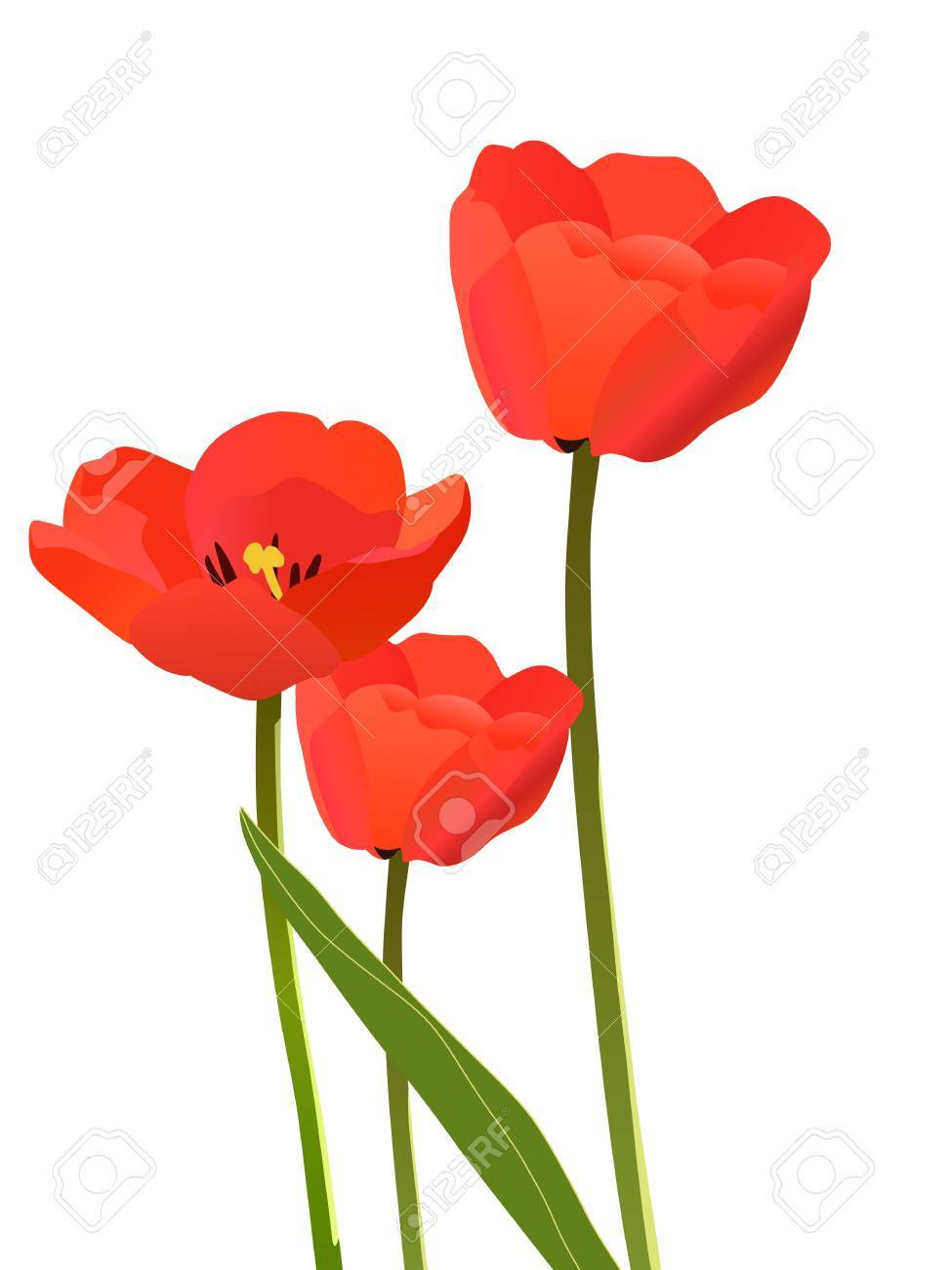Three tulips isolated on white background - 12208303
