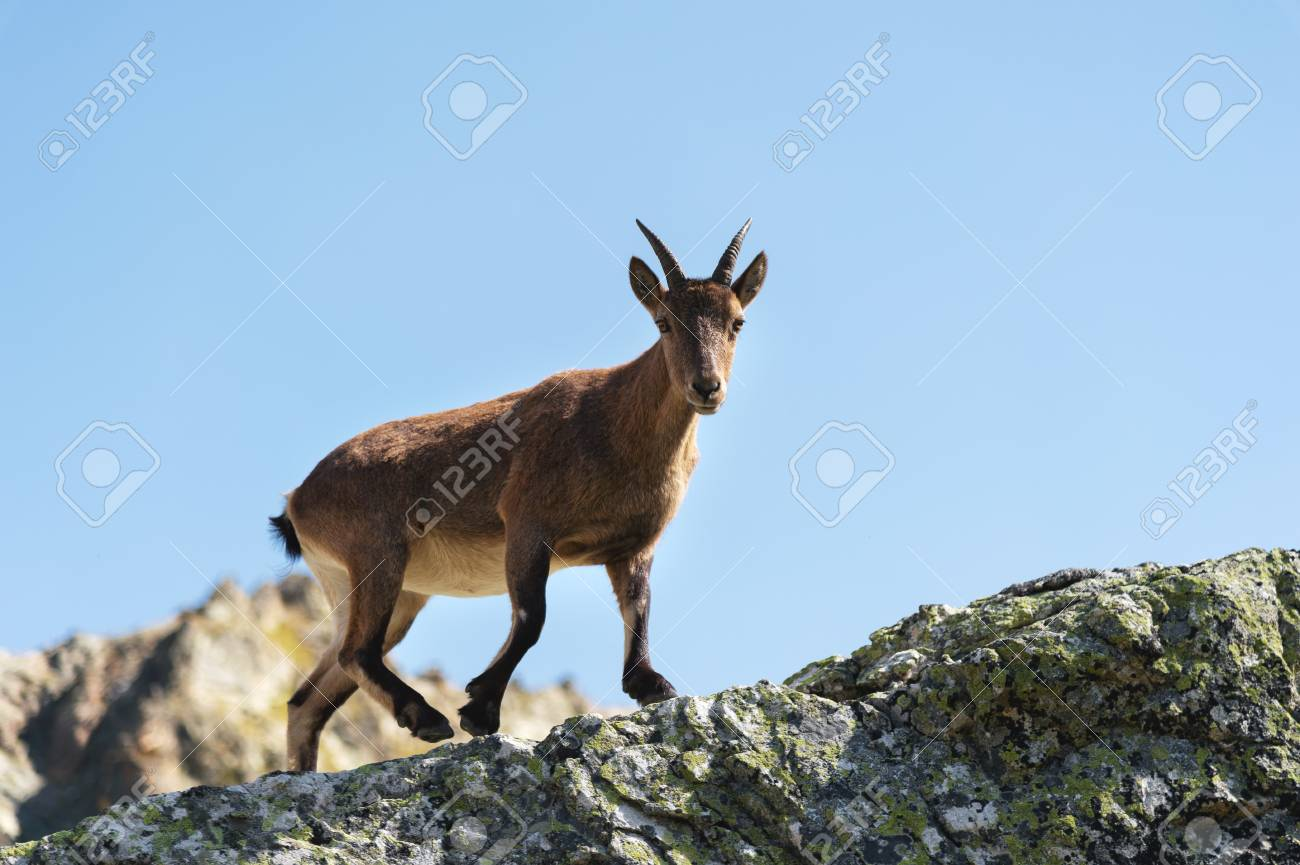 Young female alpine Capra ibex looking at the camera and standing on the high rocks stone in Dombay mountains against the sky. North Caucasus. Russia - 113774598