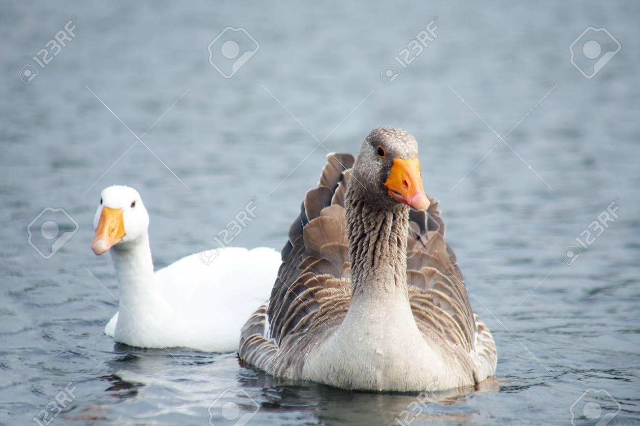 couple of geese in water. outdoors Stock Photo - 10588576
