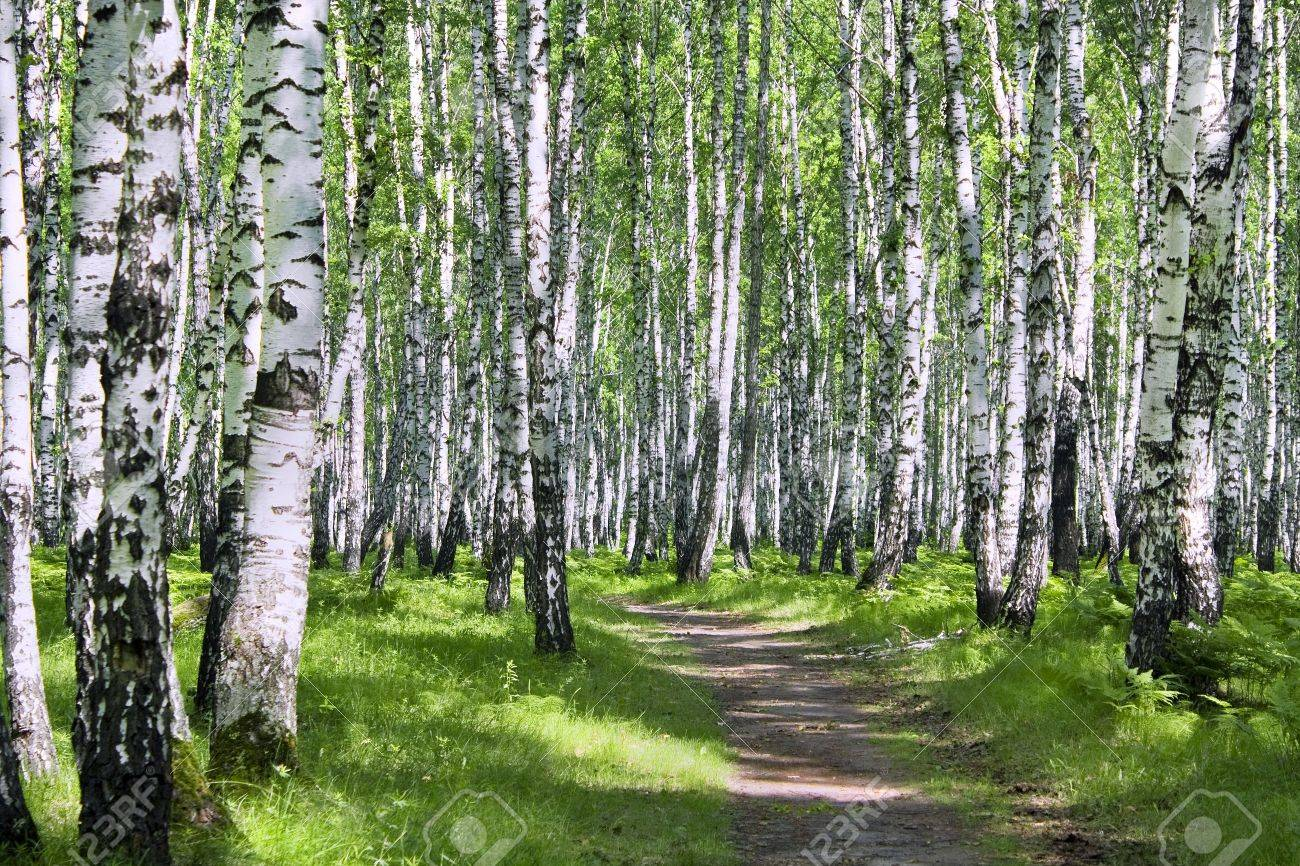 Sunny summer day in a birchwood - 8132050