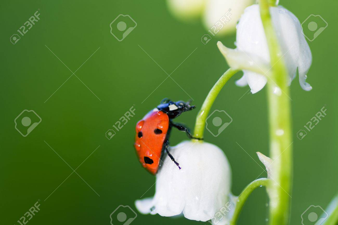 The ladybird creeps on a flower of a lily of the valley - 8583527