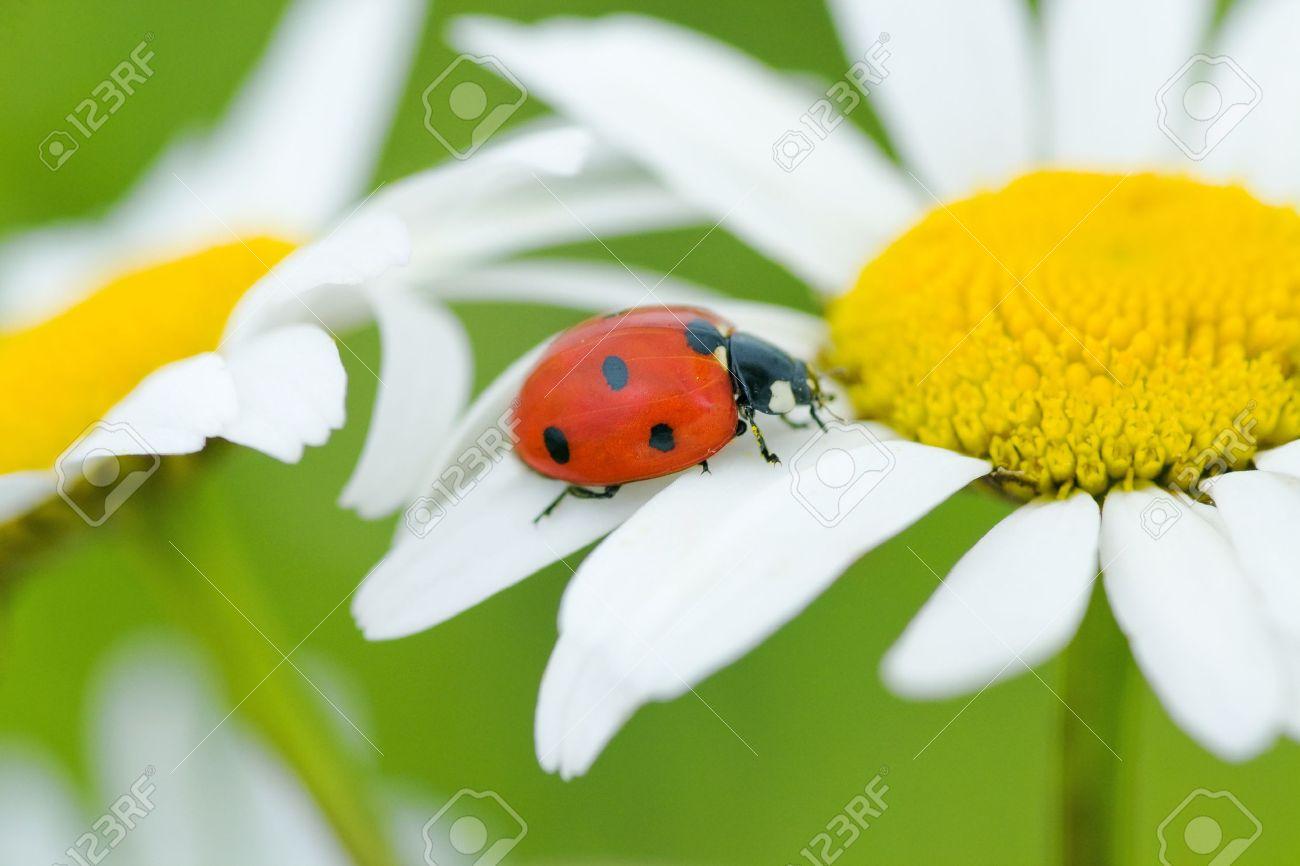 The ladybird creeps on a camomile flower - 8272469