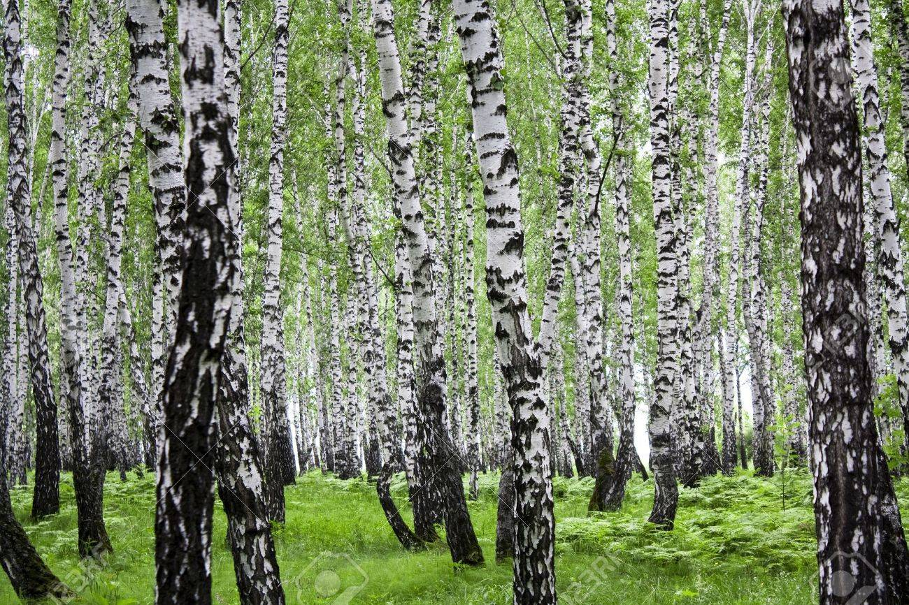 Summer landscape with a birchwood and green foliage - 9153300