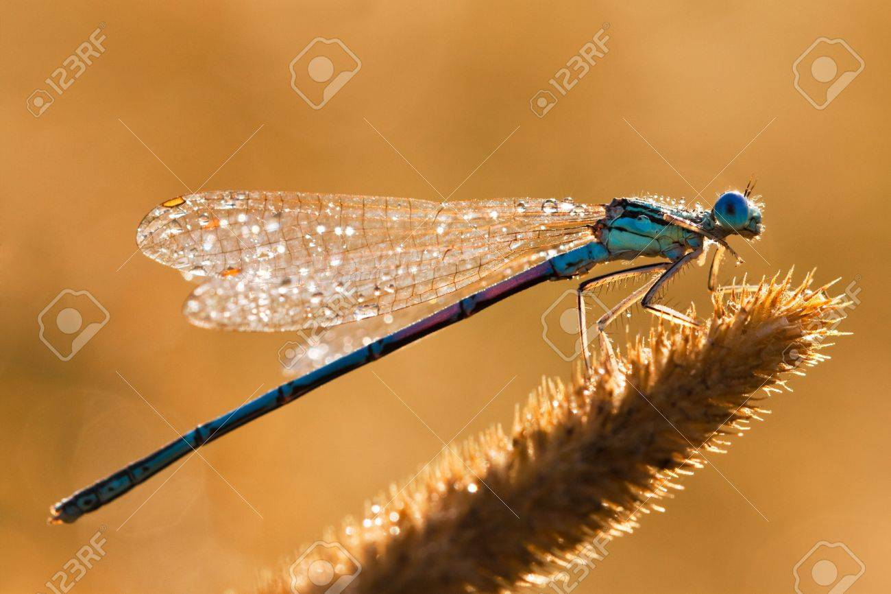 Dragonfly on a meadow in the morning in dew drops - 10400245