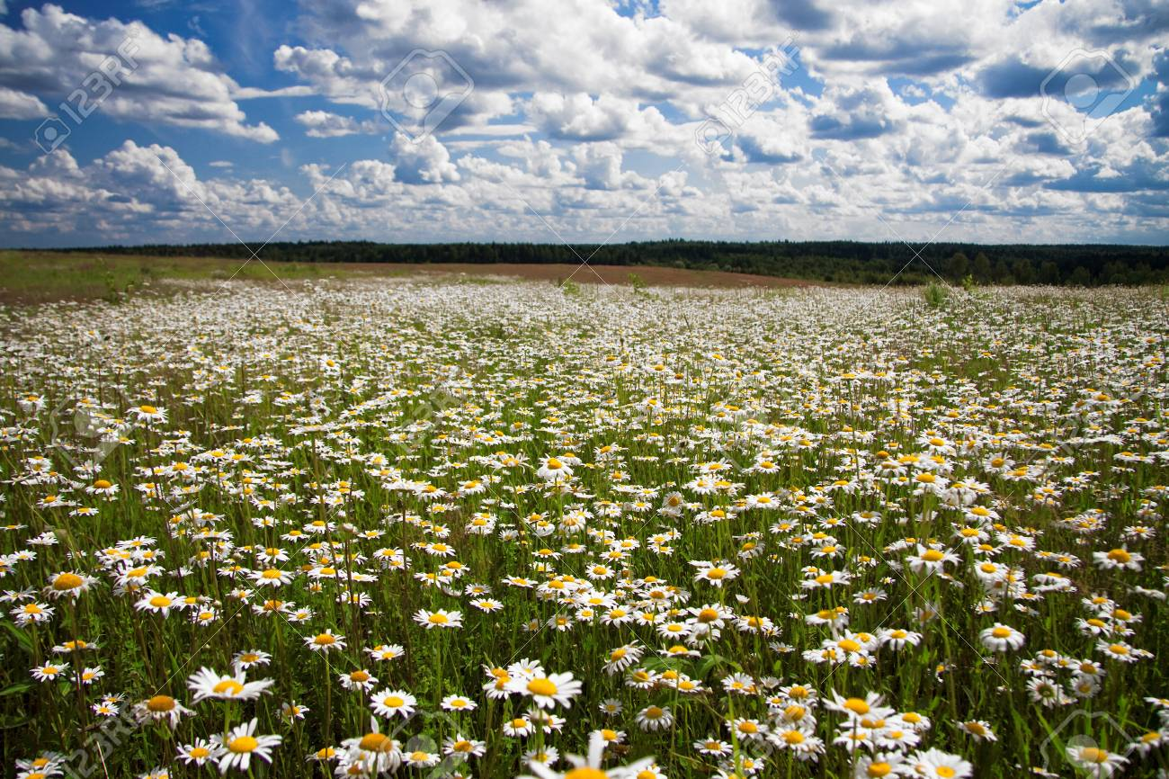 camomiles on a summer meadow Stock Photo - 13495898
