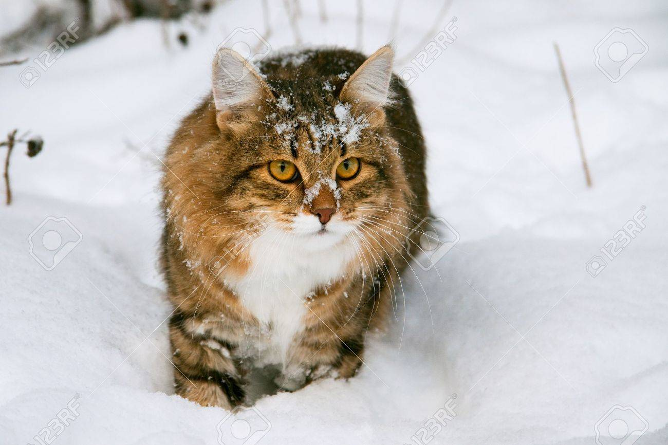 cat on snow in the winter - 13451076