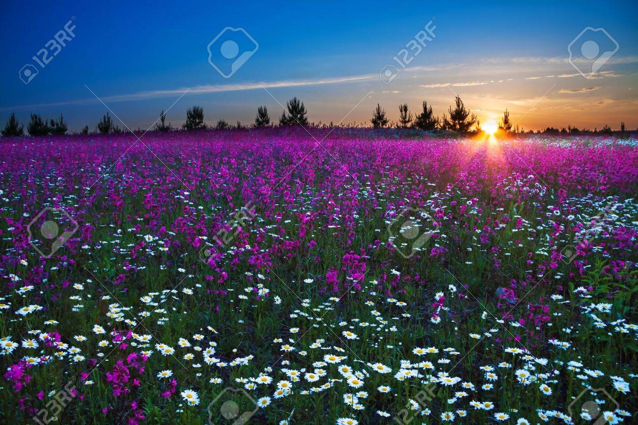 sunrise over a blossoming field - 20173610