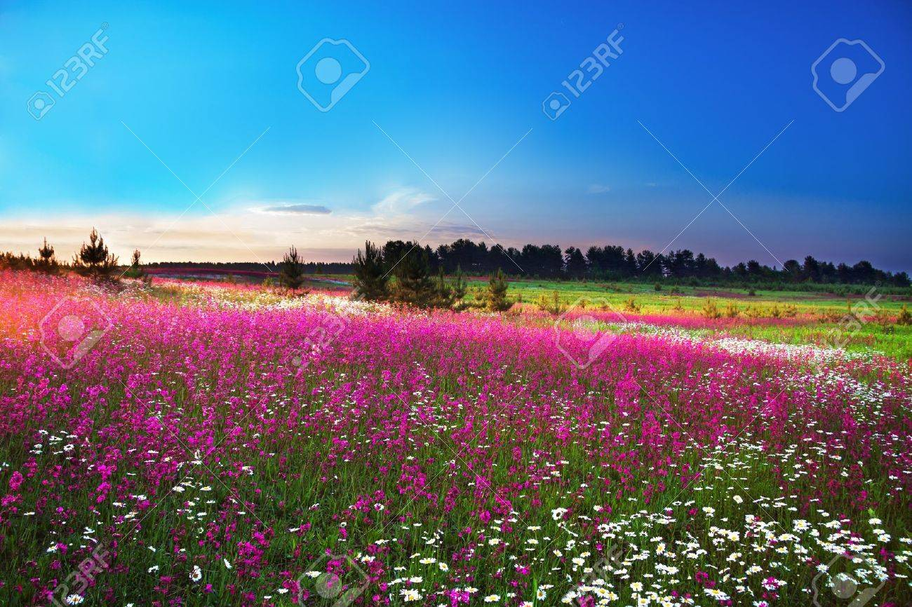sunrise over a blossoming field - 20337522