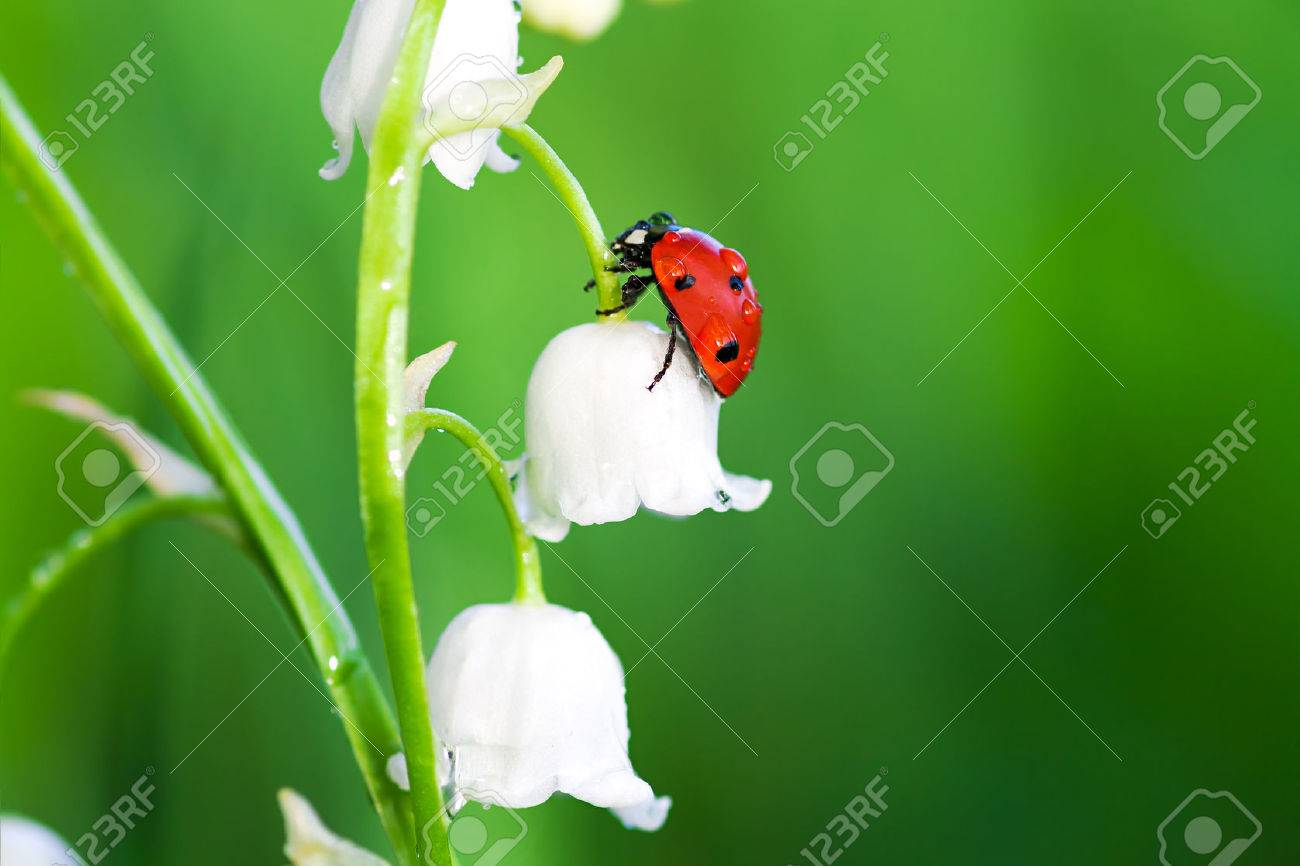 The ladybug sits on a flower of a lily of the valley stock photo stock photo the ladybug sits on a flower of a lily of the valley izmirmasajfo