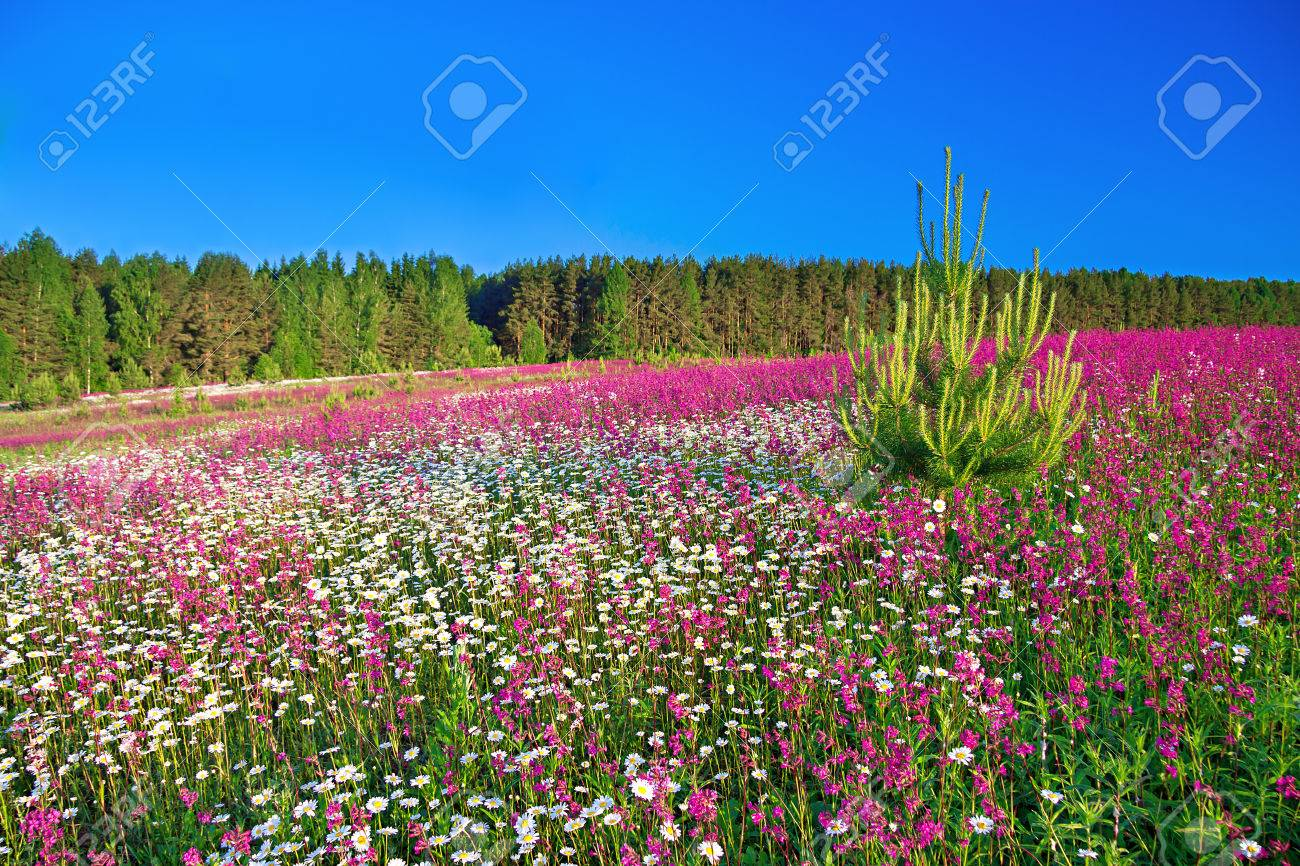 summer rural landscape with a blossoming field - 24356727