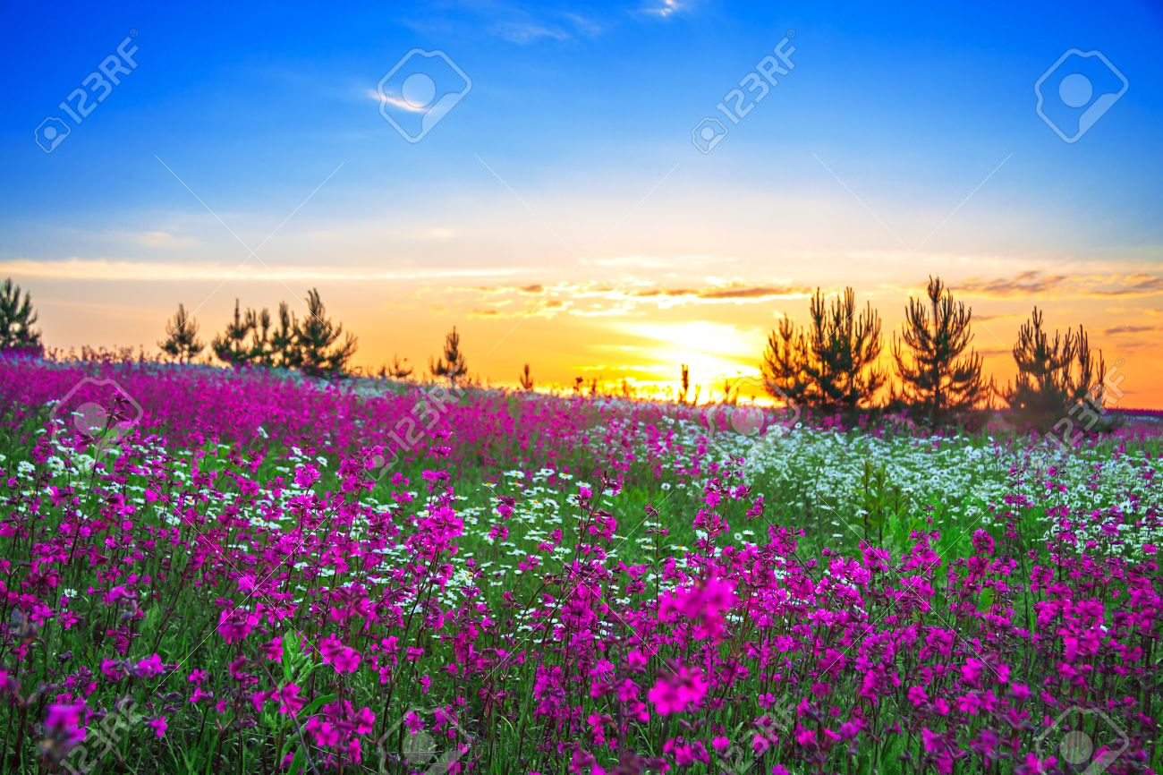 beautiful summer sunrise over a blossoming meadow - 25347687
