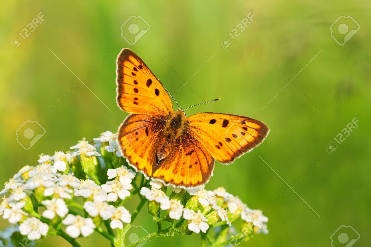 the beautiful butterfly sits on white flowers - 27584139