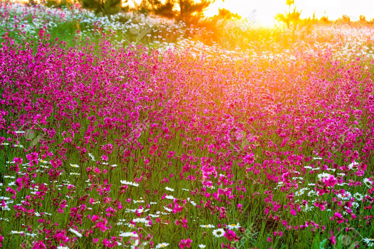the summer landscape with flowers on a meadow and sunset - 36163016